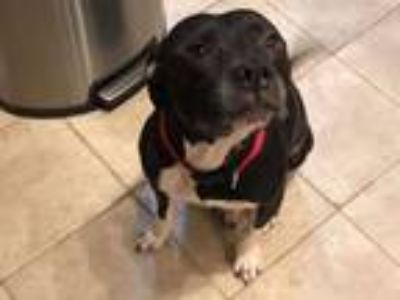 Adopt Lady a American Staffordshire Terrier