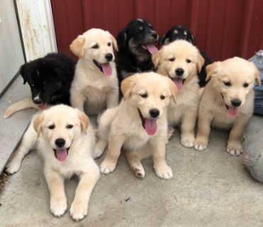 Goberian PUPPY FOR SALE ADN-80763 - Golden Husky Puppies
