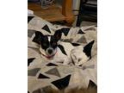Adopt COWGIRL a Black - with White Terrier (Unknown Type