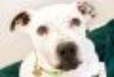 Charlie Brown American Bulldog - Mixed Breed Dog