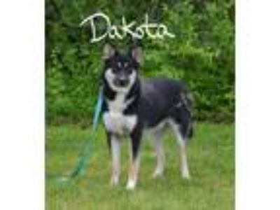 Adopt Dakota a Black - with White Husky / German Shepherd Dog / Mixed dog in