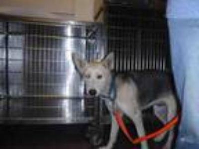 Adopt STORMI a German Shepherd Dog, Mixed Breed