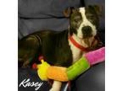 Adopt Kasey a Black - with White American Pit Bull Terrier / Mixed dog in Des