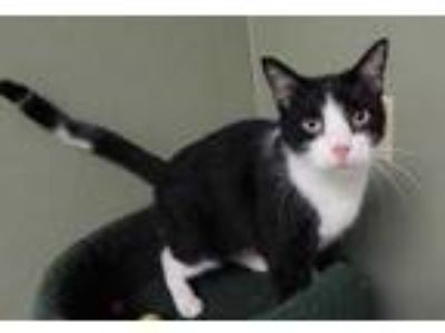 Adopt Lois a All Black Domestic Shorthair / Domestic Shorthair / Mixed cat in