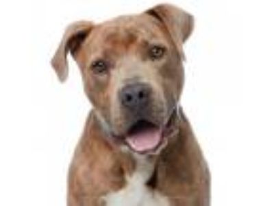 Adopt Pepsi a Brindle - with White Pit Bull Terrier / Mixed dog in Los Angeles