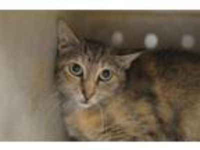 Adopt Nancy a Domestic Short Hair