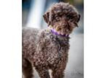 Adopt Rupert a Poodle (Standard) / Mixed dog in Kettering, OH (25134663)