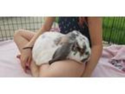 Adopt Oliver a Multi Mini Lop / Mixed (short coat) rabbit in Aurora