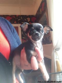 Chihuahua Teacup puppies Pocket size / Blue