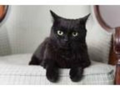 Adopt Sherrie a All Black Domestic Shorthair / Mixed (short coat) cat in