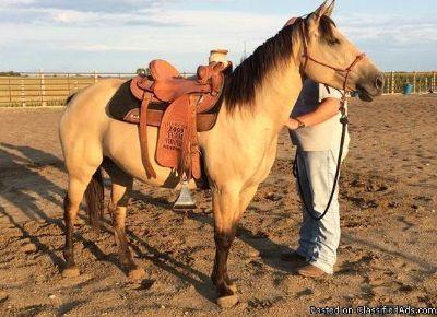 Dun quarter horse 469 xx 415 xx 7106