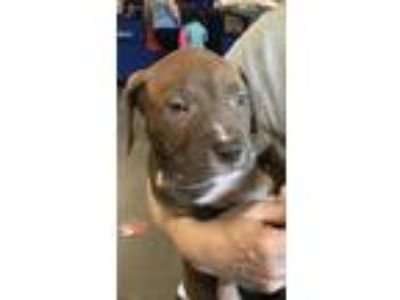 Adopt Scooby a Tan/Yellow/Fawn - with White American Staffordshire Terrier dog