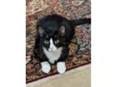 Adopt William (and his sister kitten Betty) a Black & White or Tuxedo Domestic