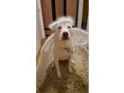 Adopt Chevy a Pit Bull Terrier