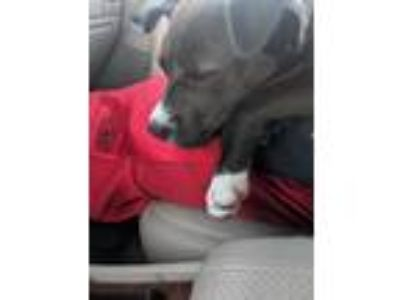 Adopt lilli a Black - with White Pit Bull Terrier / Mixed dog in Kenmore