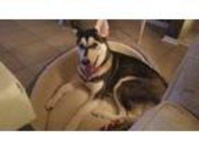 Adopt Luna a Black - with White Husky / German Shepherd Dog dog in Houston
