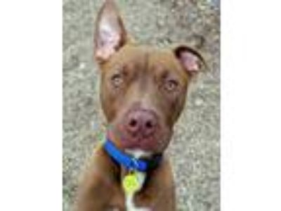Adopt Roger a Pit Bull Terrier / Mixed dog in Boone, IA (25264097)