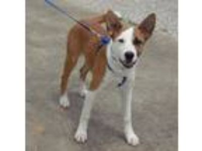 Adopt Mozer a Australian Cattle Dog / Blue Heeler, Border Collie