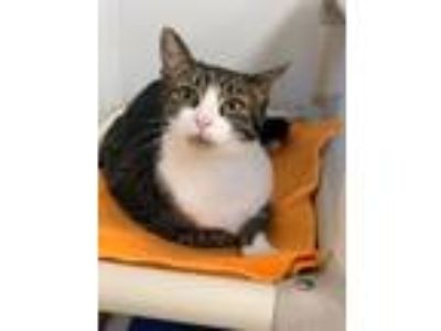 Adopt Summertime a Domestic Short Hair