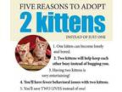 Adopt KITTENS a Domestic Medium Hair