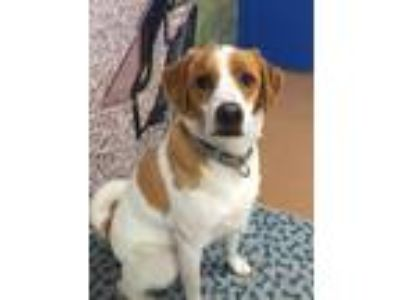 Adopt Ziggy a White - with Tan, Yellow or Fawn Beagle / Golden Retriever / Mixed