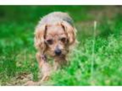 Adopt Turtle a Yorkshire Terrier, Silky Terrier