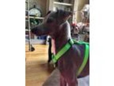 Adopt Blue Roo a Italian Greyhound