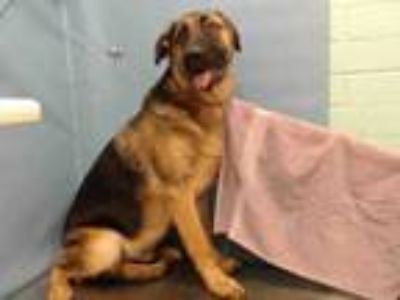 Adopt LIITE a German Shepherd Dog, Labrador Retriever