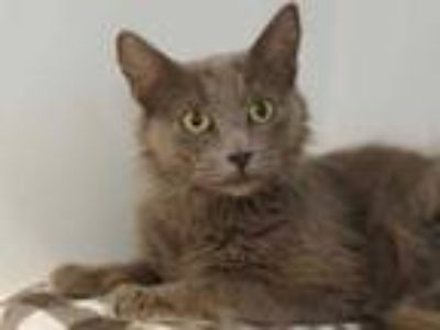 Adopt Autumn a Gray or Blue Domestic Mediumhair / Domestic Shorthair / Mixed cat