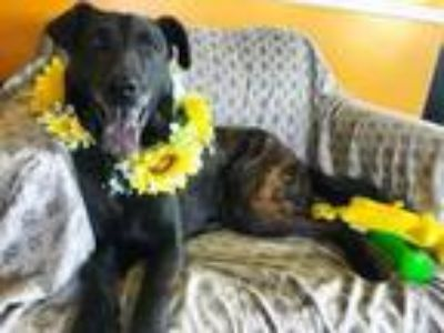 Adopt Captain a Labrador Retriever, Shepherd