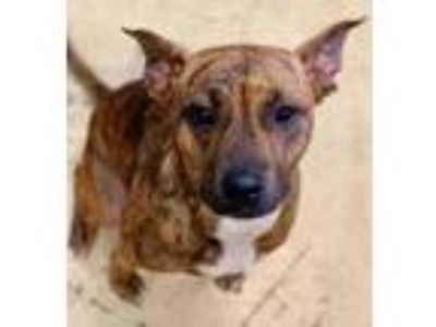 Adopt Sallie Mae a Tan/Yellow/Fawn American Pit Bull Terrier / Mixed dog in West