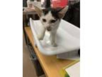 Adopt Whitney a White Domestic Shorthair / Domestic Shorthair / Mixed cat in