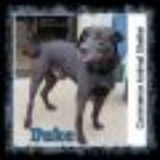 Duke Black Labrador Retriever - Basenji Dog