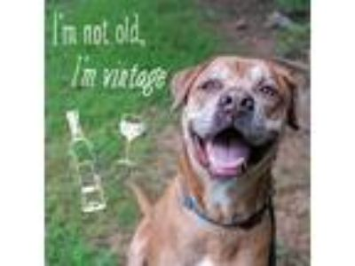 Adopt Rocky a Labrador Retriever / Dogue de Bordeaux / Mixed dog in
