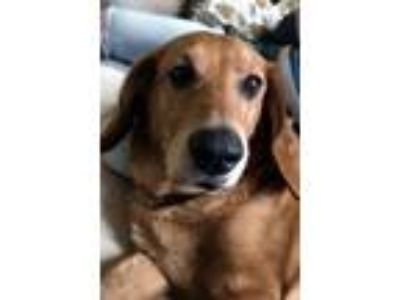 Adopt MOLLY a Basset Hound, Golden Retriever