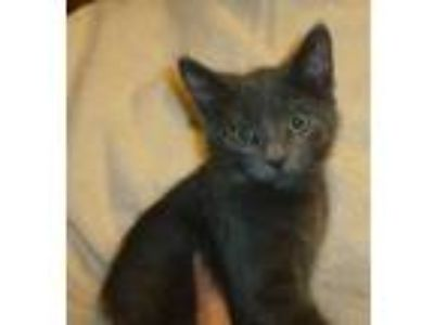 Adopt Grey's Anatomy kittens, #1: Lexie a Domestic Short Hair
