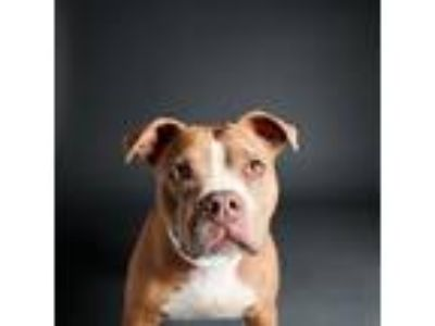 Adopt Princess a Red/Golden/Orange/Chestnut American Pit Bull Terrier / Mixed
