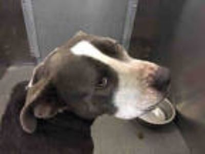 Adopt DASH a Gray/Silver/Salt & Pepper - with White American Pit Bull Terrier /