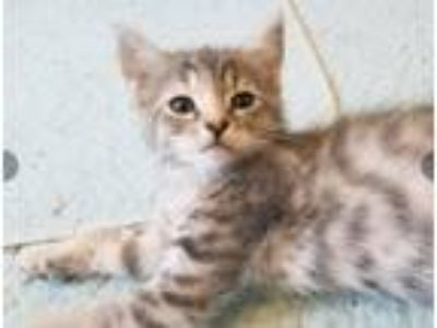 Adopt Mounds a Gray, Blue or Silver Tabby Domestic Shorthair (short coat) cat in