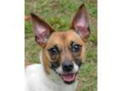 Adopt Suki a White Jack Russell Terrier / Jack Russell Terrier / Mixed dog in