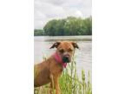 Adopt Harmony a Boxer, Pit Bull Terrier