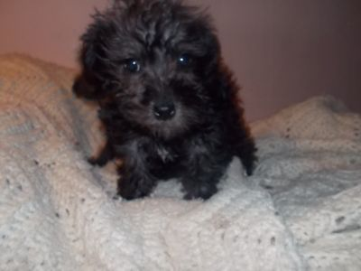 SCHNOODLE puppies 2 females ready Now