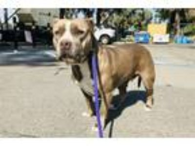 Adopt CRISSY a Pit Bull Terrier