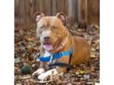 Adopt Goober a Pit Bull Terrier, Mixed Breed