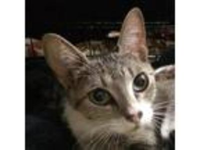 Adopt Mama a Brown or Chocolate Domestic Shorthair cat in Woodstock