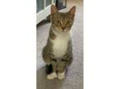 Adopt Maeve a Tiger Striped Domestic Shorthair (short coat) cat in Salem