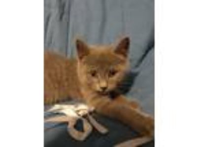 Adopt Ellen a Domestic Short Hair