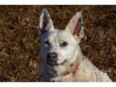 Adopt Snow a Australian Cattle Dog / Blue Heeler