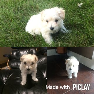 Maltipoo PUPPY FOR SALE ADN-90887 - Maltipoo Puppy