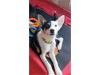 Adopt Finn a Border Collie, Rat Terrier